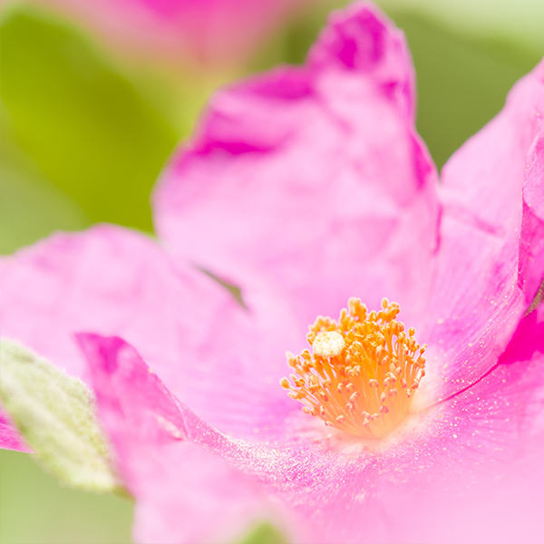 rock rose flower